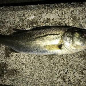 シーバス釣り 初めての海釣りを初心者のために紹介します