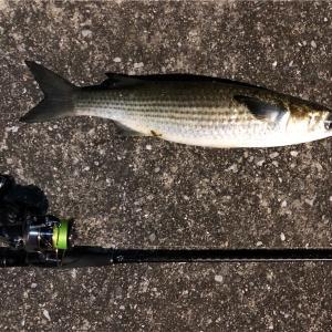 ボラ釣りは初心者むきで実は高級魚?臭くないボラは美味!その生息場所とは