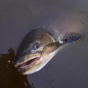 幻の巨大魚イトウ釣り タックルや注意点とは?禁止されてはいないが保護を念頭に