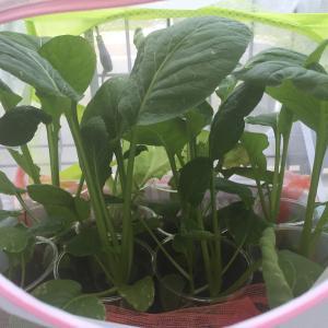 小松菜とレタス