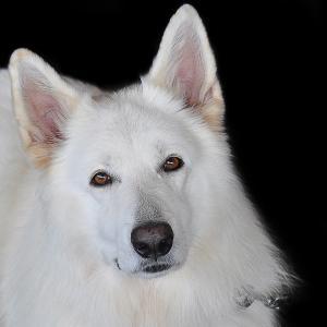 マヤ暦「白い犬」はどんな人?使命・相性・恋愛特性など徹底解説