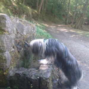 水分補給する犬