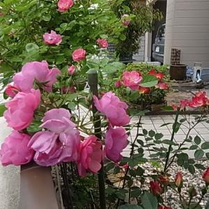 入院3日目の続き・・・心細くて死ぬ時ってこんな風になるのかな~って一瞬思った。薔薇アンジェラが咲き誇ってます。