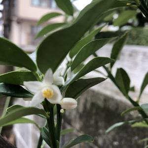 元気をなくしていました金柑に花が咲きました。