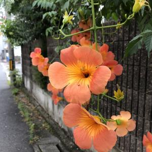 ノウゼンカズラの花の蜜をもとめてアリさんが、、、