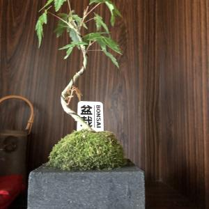 盆栽(BONSAI)「山もみじ」、我が家にやってきました。