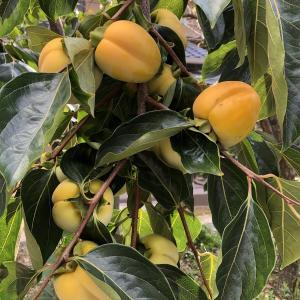 おぎおんさん(安神社)の祇園坊柿、今年はたくさん実っています。