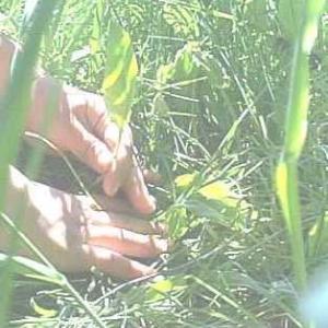 食べられる芽