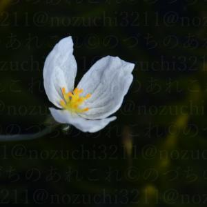 アナカリスの花。「焼きたまごサンド」