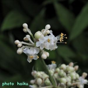 みょうがの花