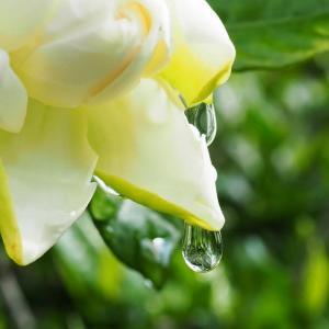 梔子(くちなし)の花