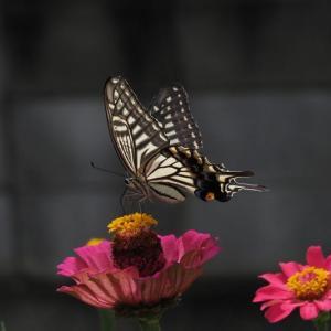 アゲハ蝶~庭写真