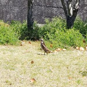オリーブ公園にいたツグミさん