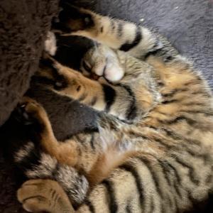 どんな寝方…😅 きじとら猫のきなこちゃん
