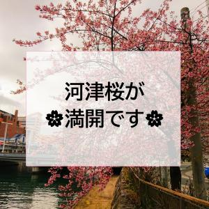 河津桜が開花しています🌸