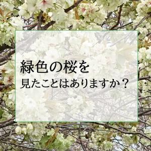 緑色の桜を見たことはありますか❓