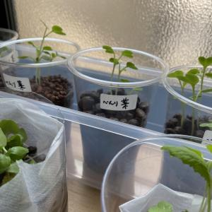 水耕栽培始めました。
