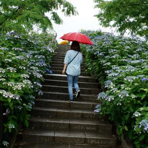 荻窪公園*アジサイは雨が似合うね~&赤堀菖蒲園