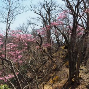 【利平茶屋森林公園~鳥居峠】アカヤシオの爆咲きする周遊コース 2021.04.30