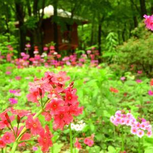 【赤城自然園】クリンソウetc. 2021.05.22