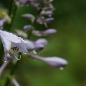 【赤城自然園】雨の中の花散歩は静かで良いわ