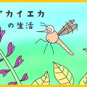 『夏場に生まれたアカイエカの一生』【昆虫物語】
