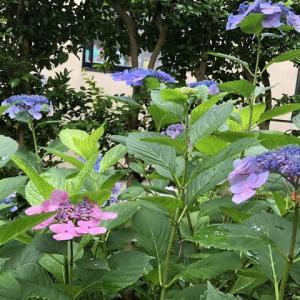 紫陽花の花はおもしろい🤣