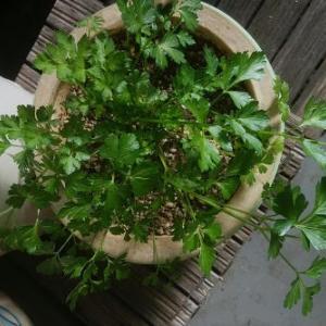 ベランダ栽培で簡単に作れる、うさぎのおやつ(野菜)何がある?