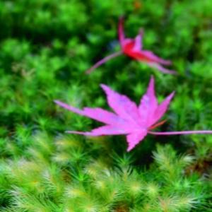 晩秋の京都 ②祇王寺 初参拝 悲恋の尼寺はコンパクトながらも、苔の濃淡、紅葉と竹コントラストが素敵でした。