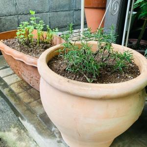 ハーブ苗の植え替え♡明日の夏至は、日光浴と神社参拝♡