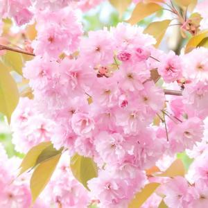 桜がとてもきれいですね