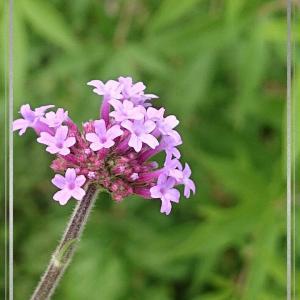 櫻庭087* Verbena bonariensis