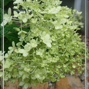 櫻庭104* Hydrangea paniculata