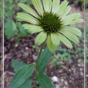 """櫻庭106* Echinacea purpurea """"Green Jewel"""""""