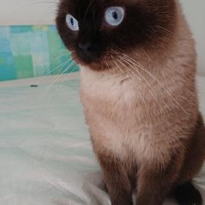 ねこびより* チョコレートカラーの子猫