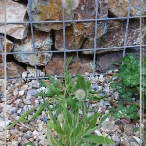櫻庭051* Lagurus ovatus
