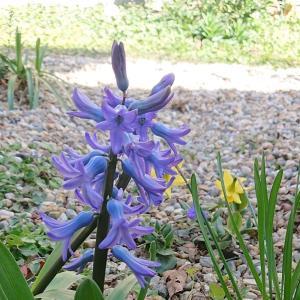 櫻庭016* Hyacinthus orientalis