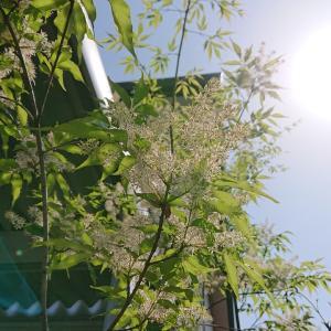 櫻庭 009* Fraxinus lanuginosa form.serrata