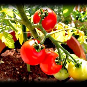 おうちで育てたプチトマトの初収穫