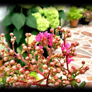 今年もサルスベリの花が咲き始めたよ