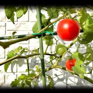 プチトマトがまだまだ頑張ってるよ