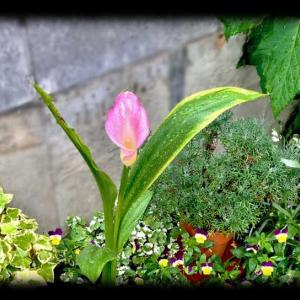 花壇でピンクのカラーが咲いたよ