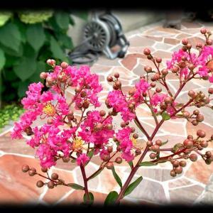 今年もサルスベリの花が咲いたよ