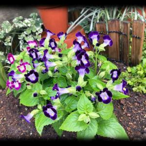 夏の花壇にトレニアを植えてみたよ