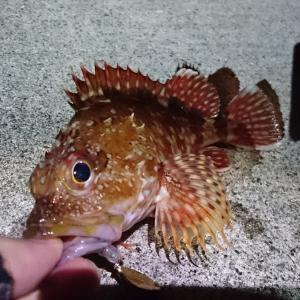 雨後の宇和島でベイトフィネス釣行 / カルカッタコンクエストBFSとビームス インテで根魚狙い
