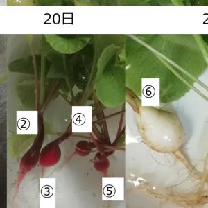 【2020年6月】収穫物【家庭菜園】