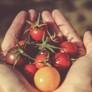 【混植栽培】家庭菜園ミニトマト初挑戦【収穫】