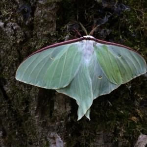 美しい緑色の蛾「オオミズアオ」