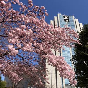 2月末、桜、雛人形