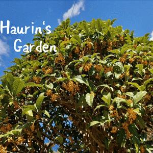 家の庭を探検!季節の植物~金木犀がまっさかり~
